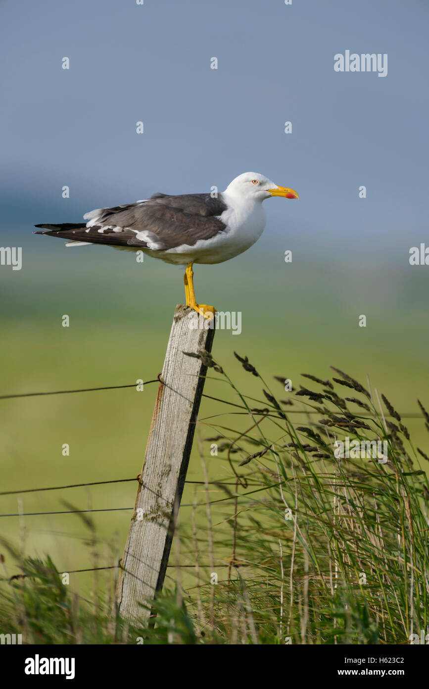 Lesser Black-backed Gull (Larus fuscus) on a fencepost, Orkney Mainland, Scotland. - Stock Image