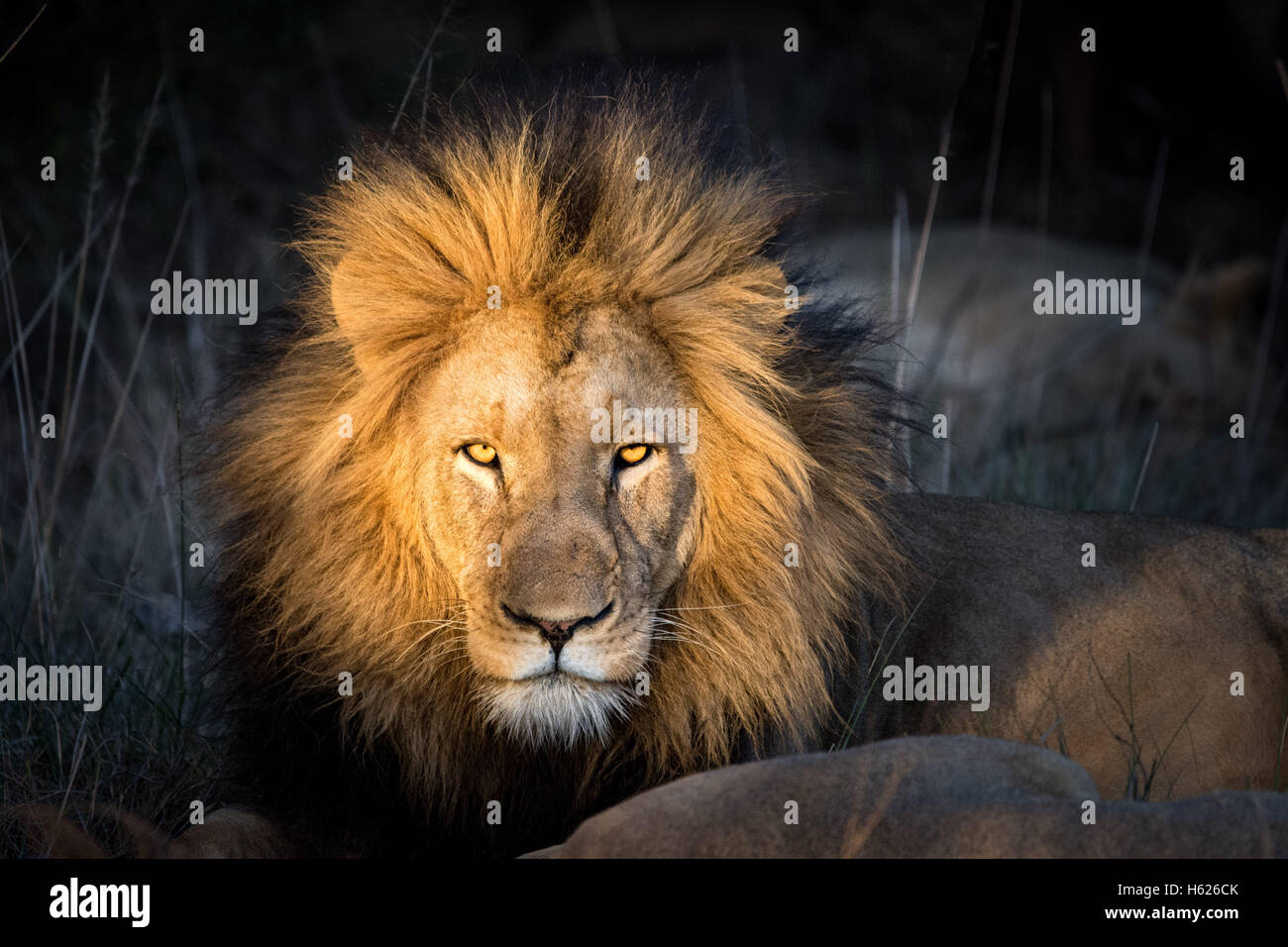 Beautiful Beast. Lion looks straight at the camera. - Stock Image