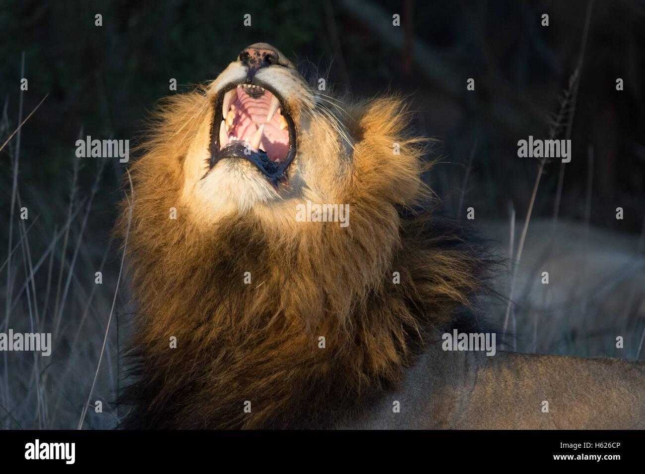 Big Yawn of Lion - Stock Image