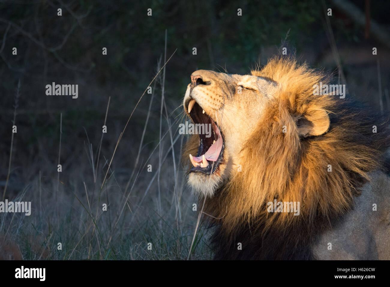 Lion Yawning, big teeth. - Stock Image