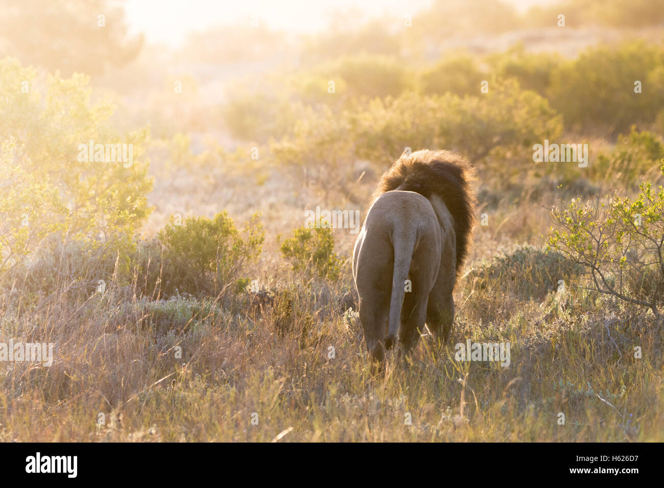 Lion walking in to the distance - Stock Image