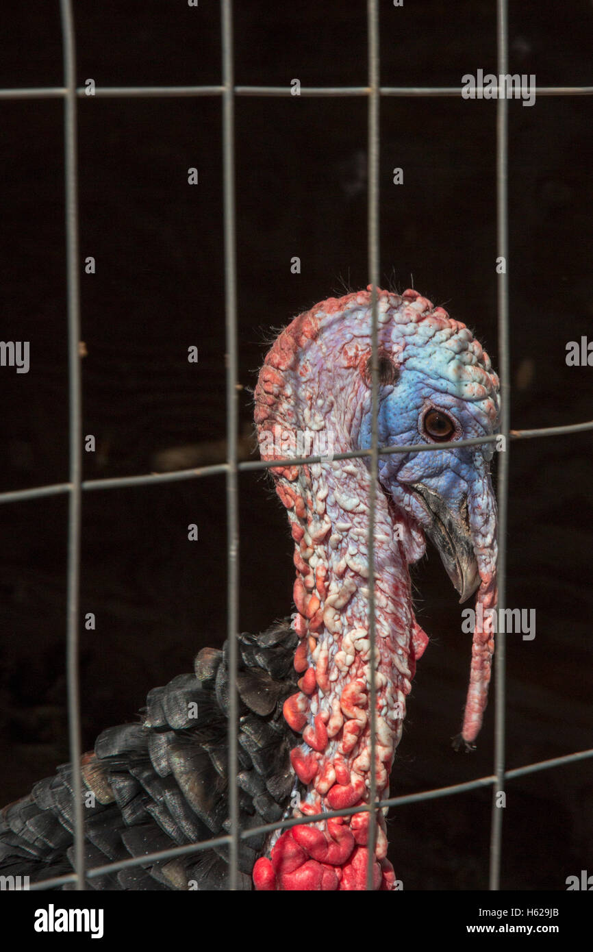 Thoreau, New Mexico - A turkey raised in a pen by a family on the Navajo reservation. - Stock Image