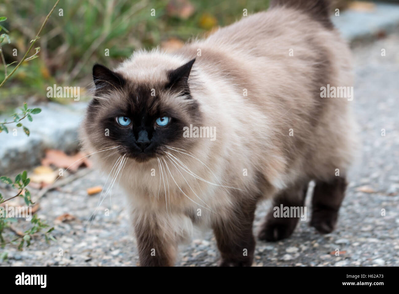 purebred Himalayan cat walking on the pavement - Stock Image