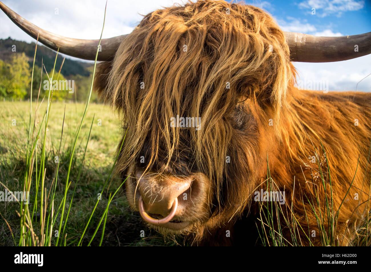 Highland Cow, the Trossachs, Scotland - Stock Image