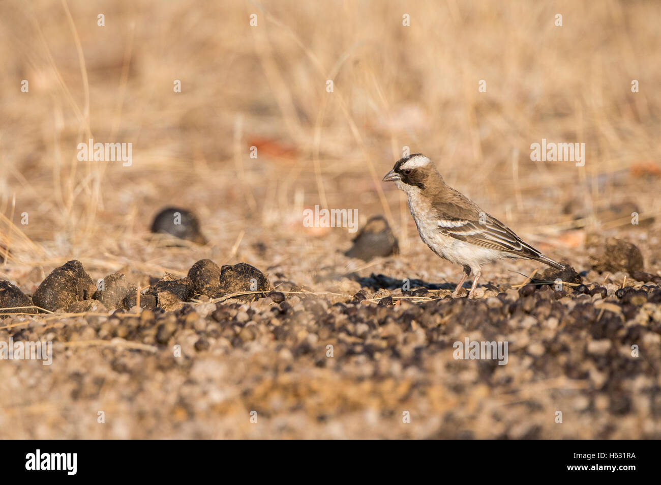 White-browed Sparrow Weaver (Plocepasser mahali) on the Ground in South Africa - Stock Image