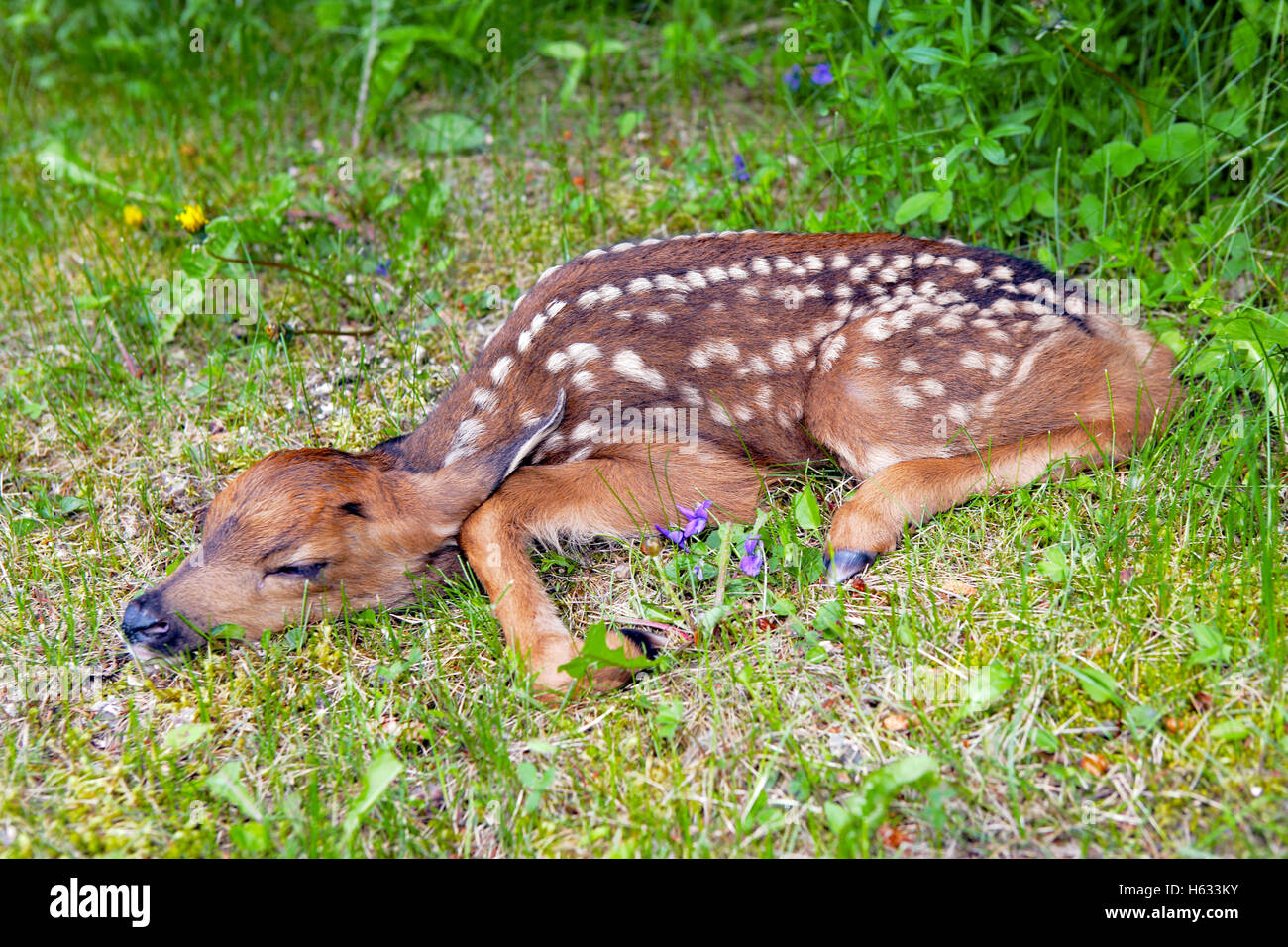 Black-tail Deer Fawn,one day old, resting in grass - Stock Image