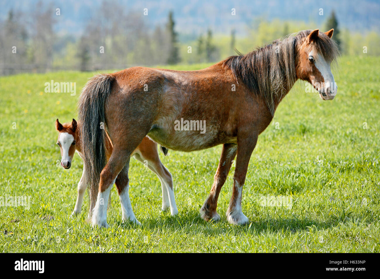 Welsh Pony Mare with few week old Foal at spring pasture - Stock Image
