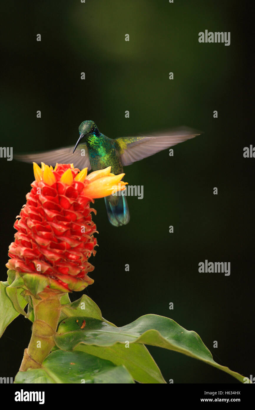 Green Violet-ear Hummingbird (Colibri thalassinus) feeding at Ginger flower (Costus montanus). Monteverde Cloud - Stock Image