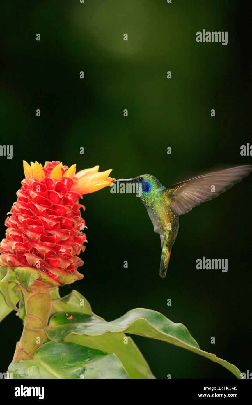 Green Violet-ear Hummingbird (Colibri thalassinus) feeding at Ginger flower (Costus montanus). Monteverde, Costa - Stock Image