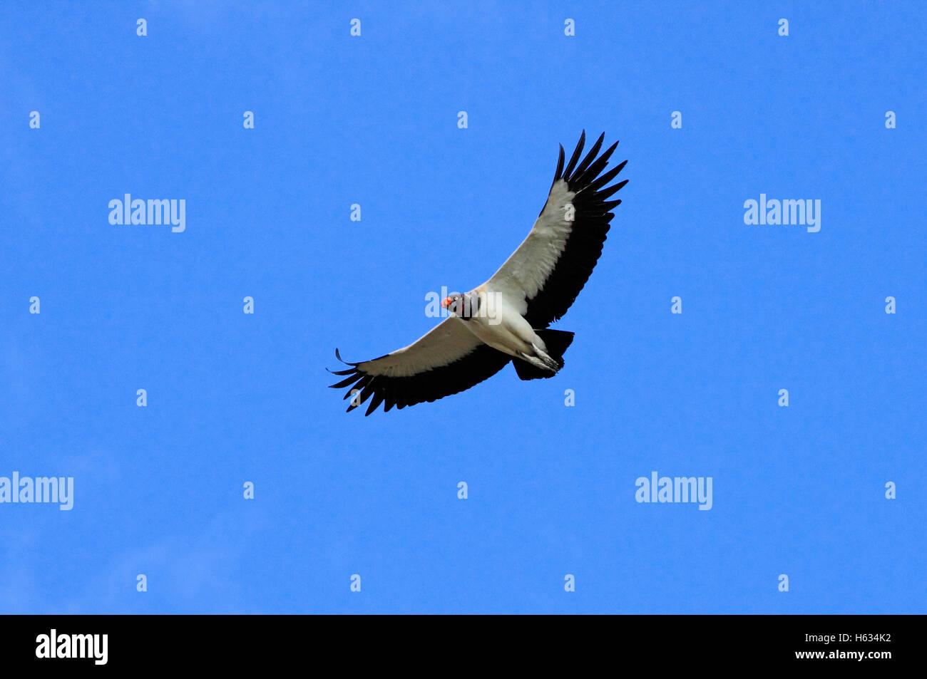King vulture (Sarcoramphus papa) in flight. Guanacaste, Costa Rica. - Stock Image