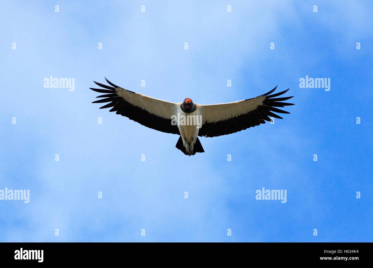 King vulture (Sarcoramphus; papa) in flight. Guanacaste, Costa Rica. - Stock Image