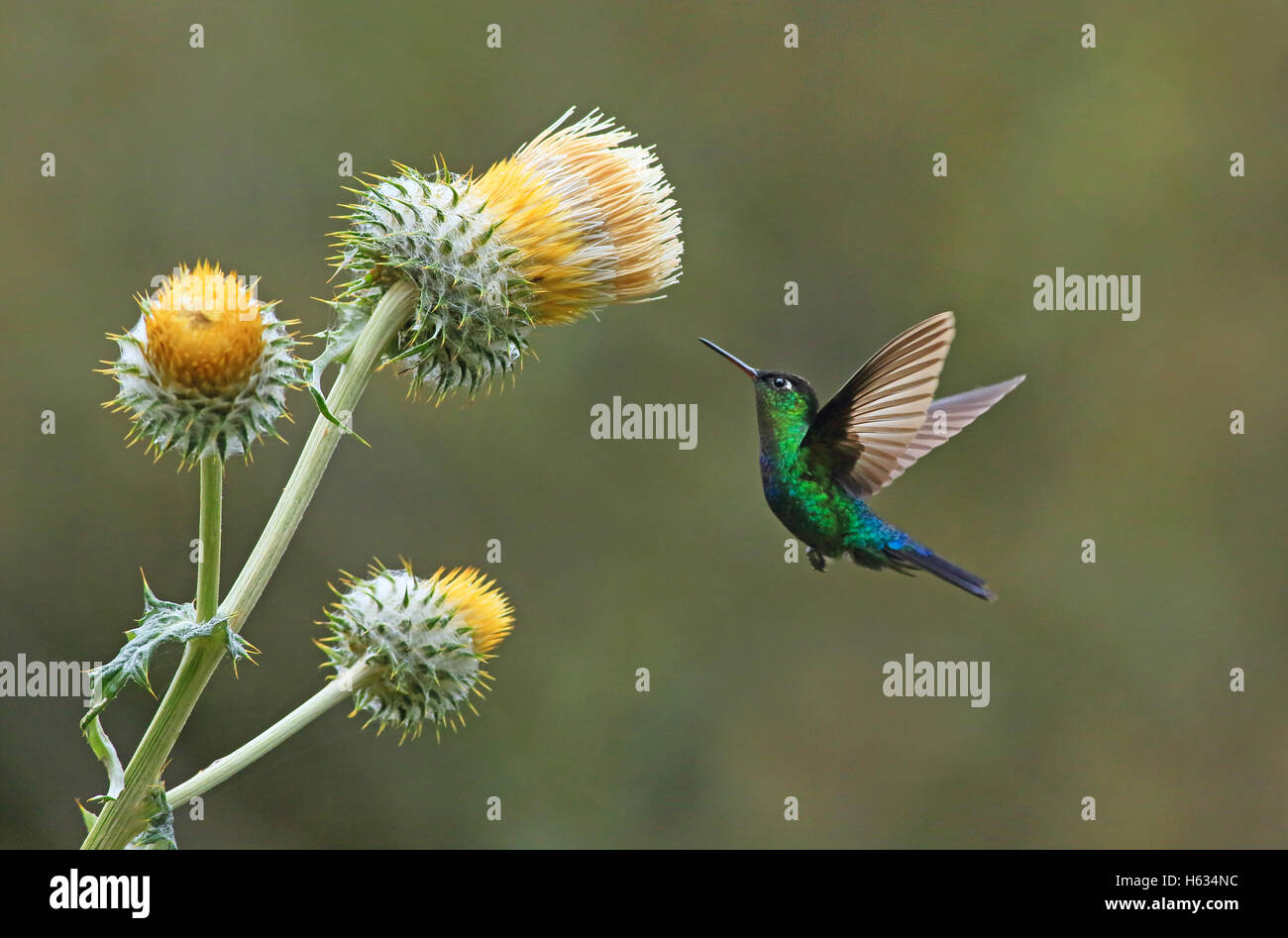 Green-crowned Brilliant Hummingbird feeding at giant thistle (Cirsium subcoriaceum), Cerro de la Muerte, Costa Rica. - Stock Image
