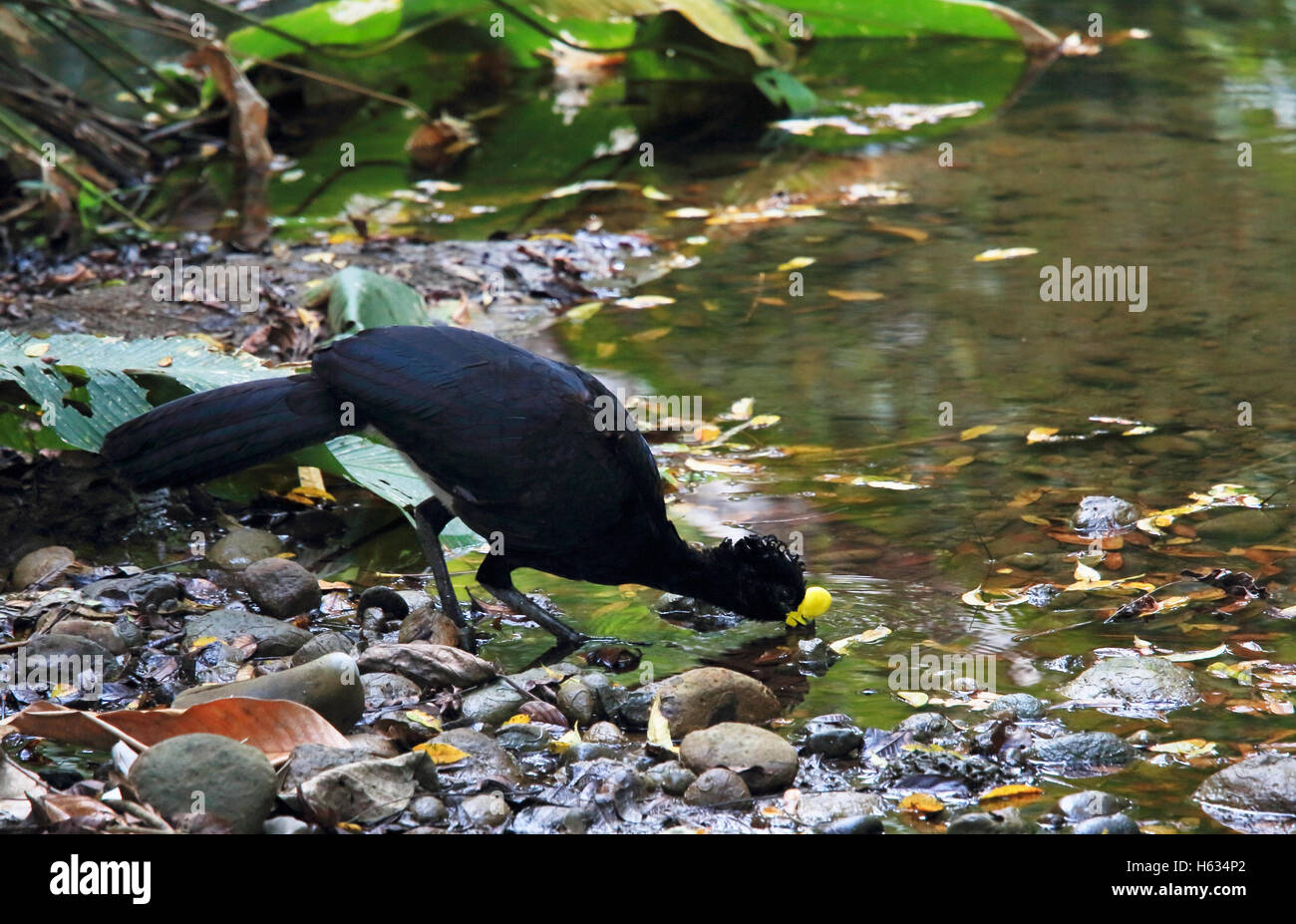 Male Great Curassow (Crax rubra) drinking from rainforest stream. Sirena, Corcovado National Park; Osa Peninsula; Stock Photo