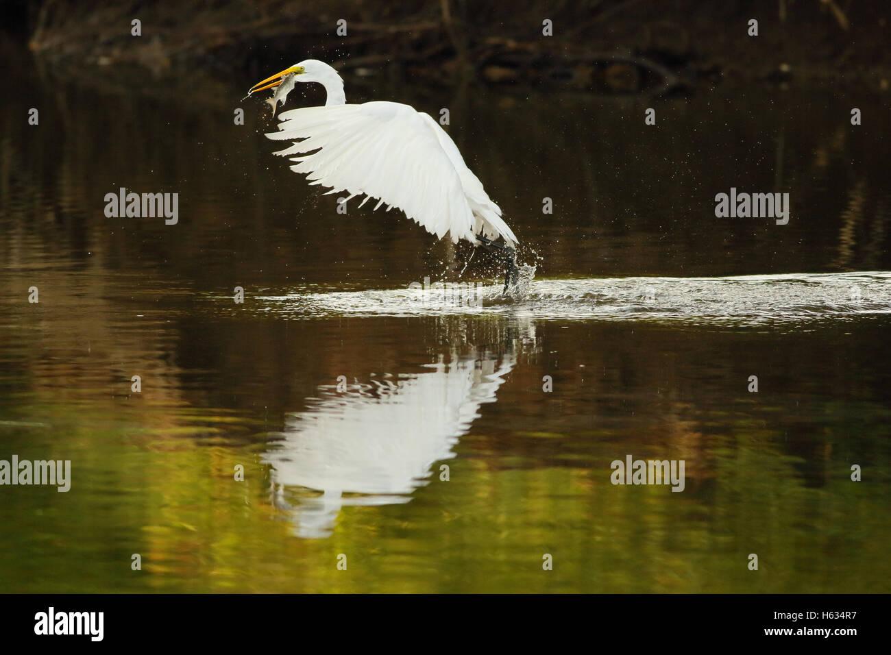 Great egret (Ardea alba) catching a fish in a stream in Guanacaste, Costa Rica, Central America. - Stock Image
