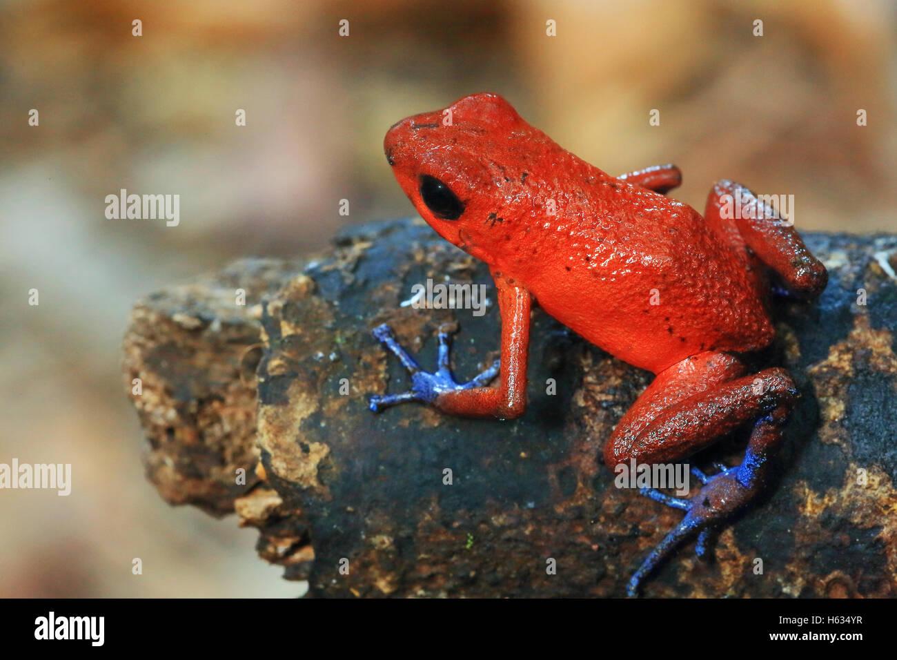 Blue jeans poison dart frog (Oophaga pumilio) in lowland rainforest. Cerro de Tortuguero, Costa Rica. - Stock Image