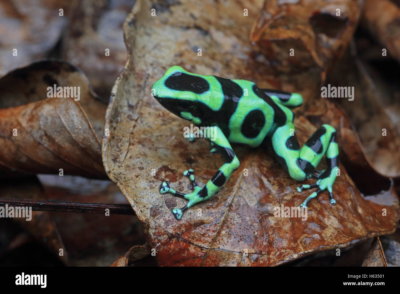 Green and black poison dart frog (Dendrobates auratus) in mountainous rainforest near Puerto Viejo, south Caribbean, - Stock Image