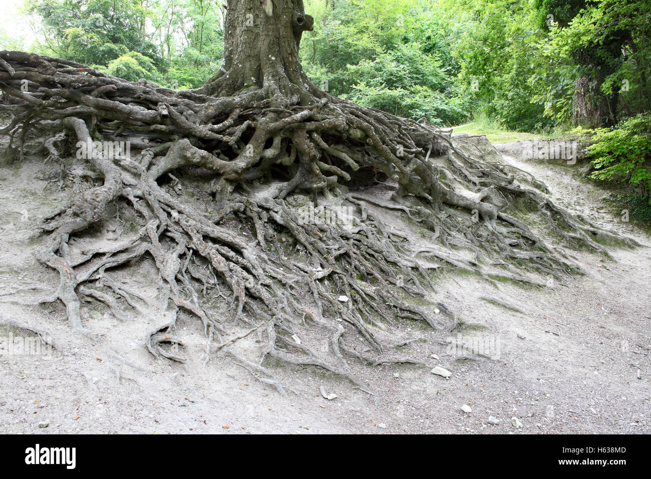 Exposed tree roots on a hillside in the South Downs National Park near Steyning, West Sussex. - Stock Image