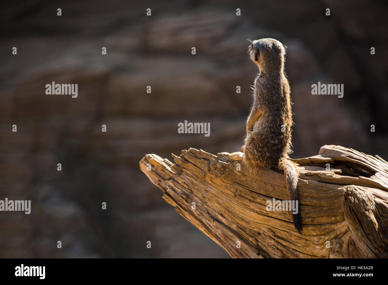 Sentry Meerkat (Suricata suricatta) keeps watch - Stock Image