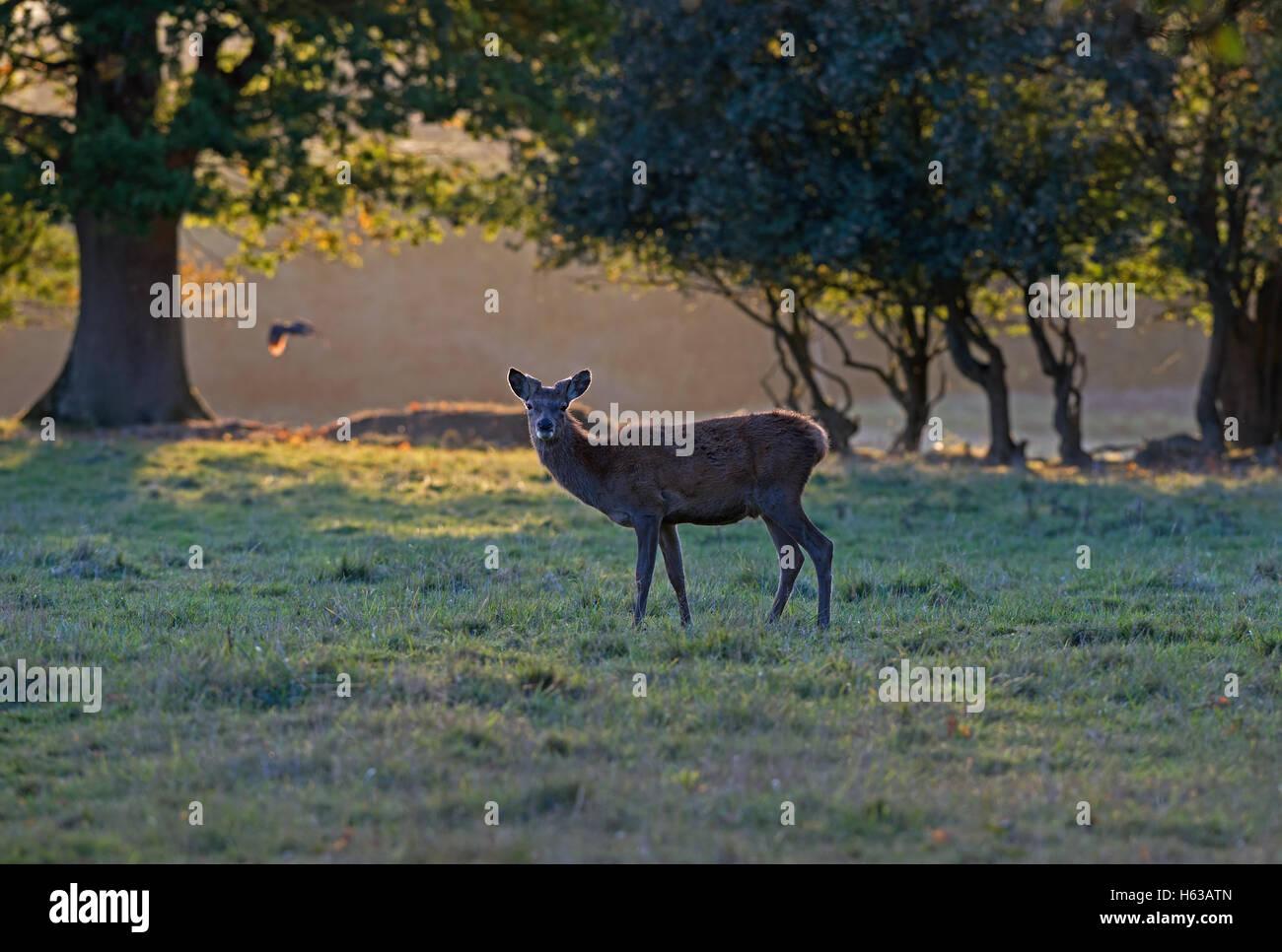 Female Red Deer (hind)-Cervus elaphus at sunset. Uk - Stock Image