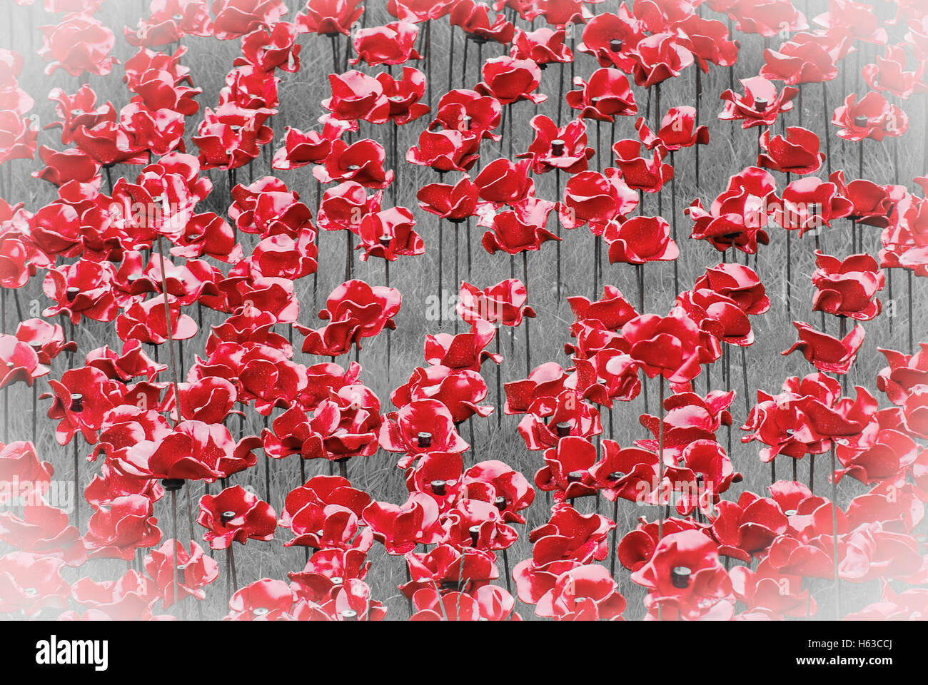 field of poppies - Stock Image