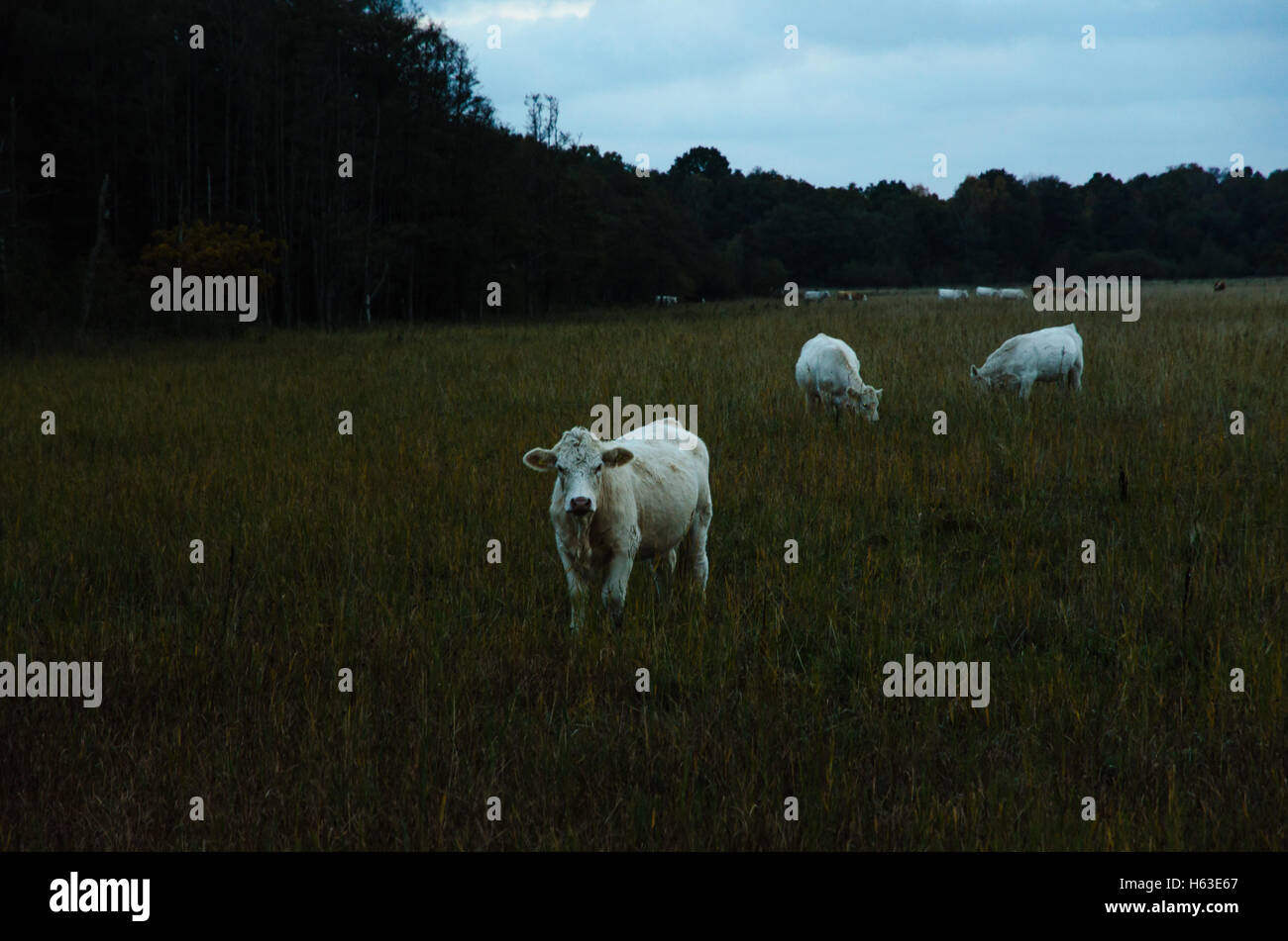 Grazing white young cattle by late evening in a grassland at the swedish island Oland - Stock Image