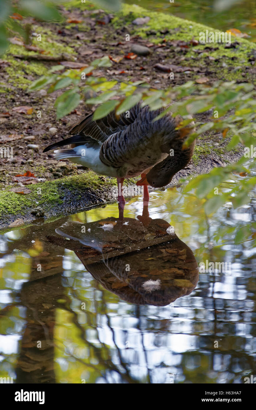 Greylag goose (Anser anser) is a bird in the waterfowl family Anatidae - Stock Image