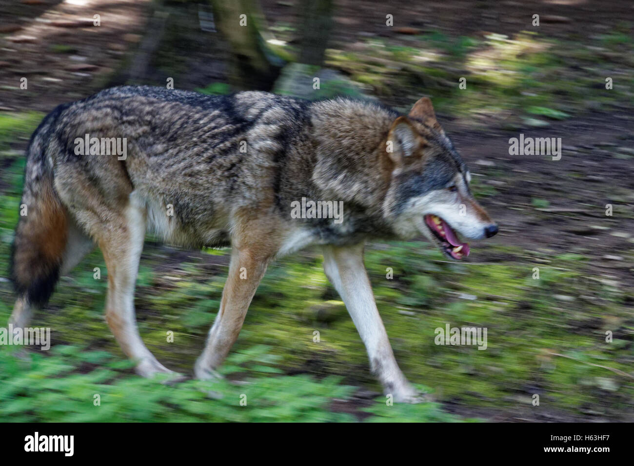 Gray wolf or grey wolf (Canis lupus), also known as the timber wolf or western wolf. Stock Photo