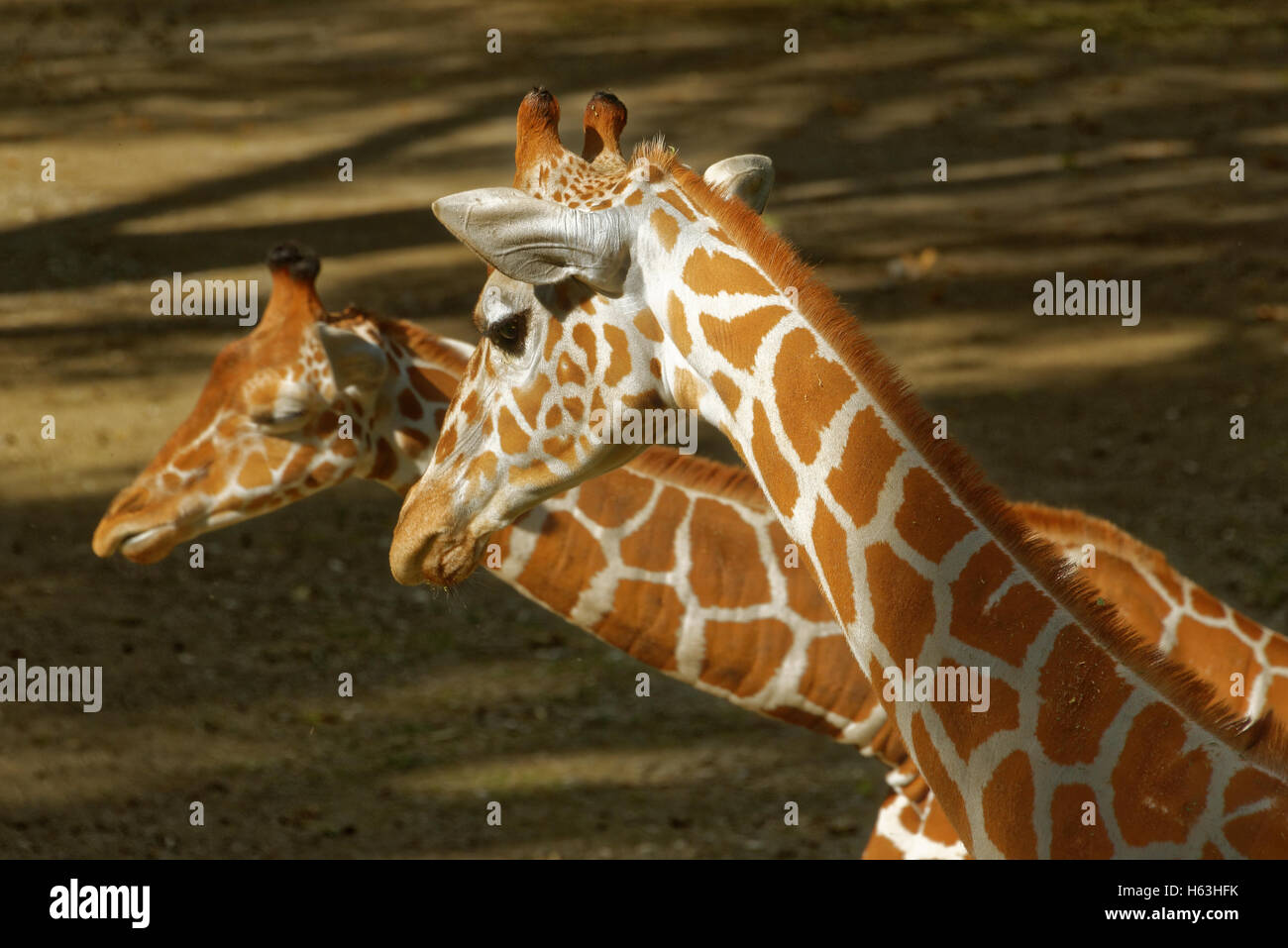 Giraffe (Giraffa camelopardalis) is an African even-toed ungulate mammal, the tallest living terrestrial animal - Stock Image