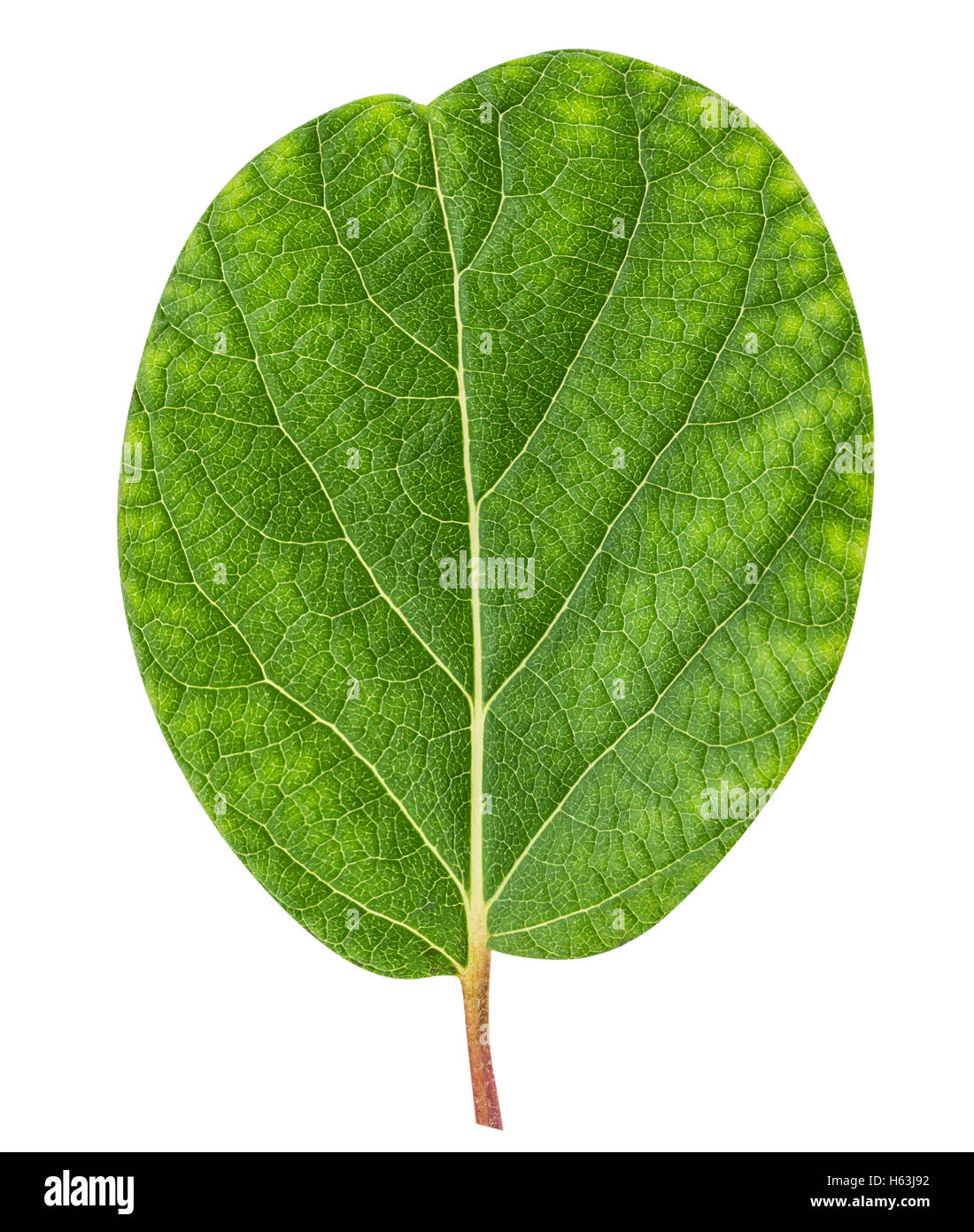 Kiwi leaf isolated on white background clipping path - Stock Image