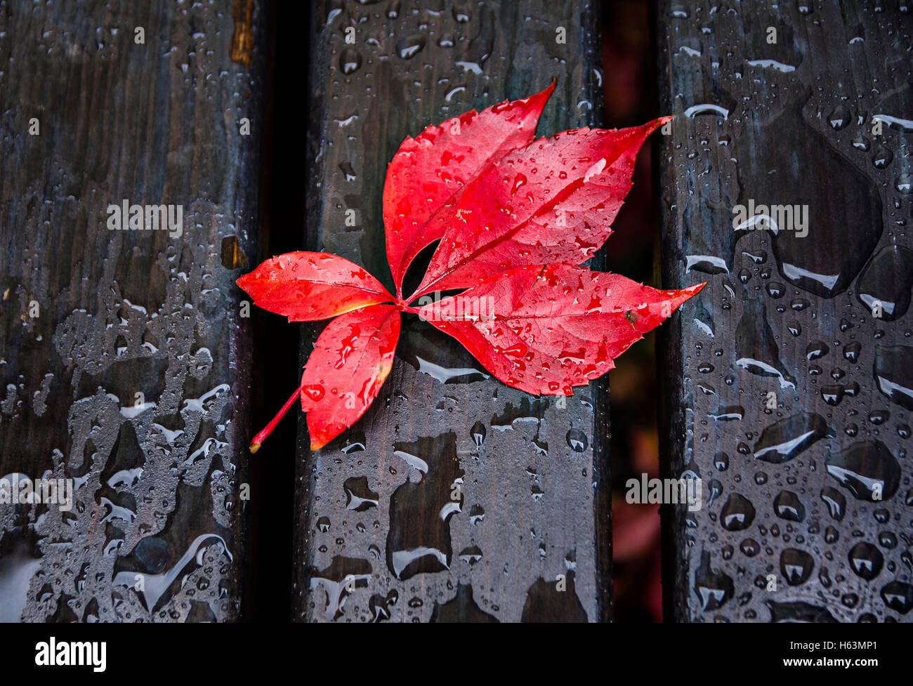 Red leaves, black bench and rain drops - Stock Image