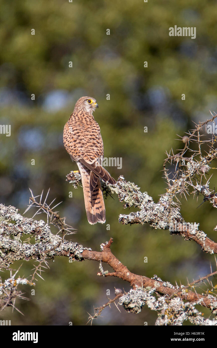 common kestrel Falco tinnunculus Laikipia Kenya Africa perched on an Acacia, back view, dark background - Stock Image