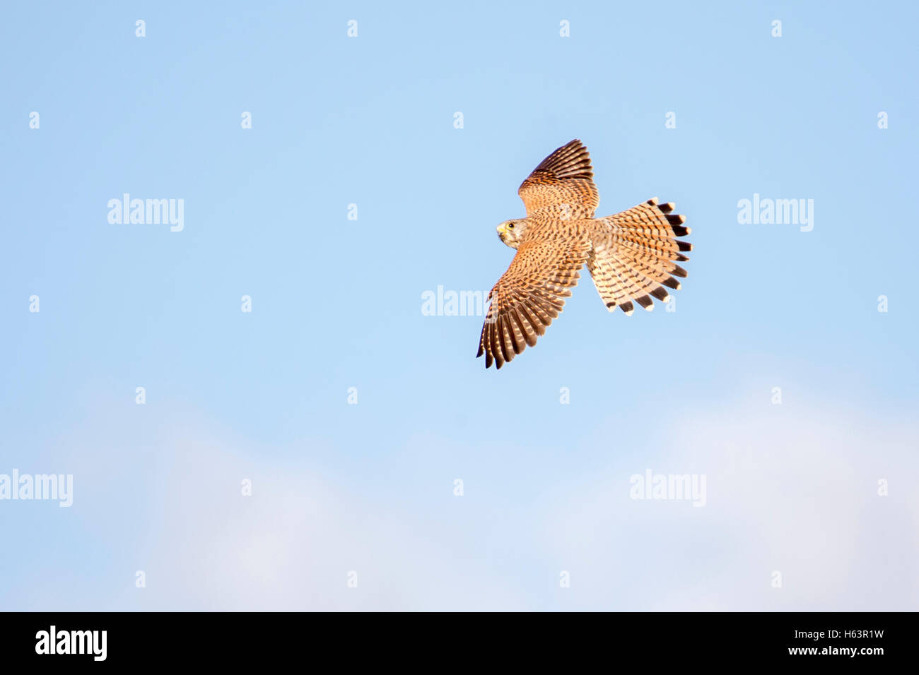 common kestrel Falco tinnunculus Laikipia Kenya Africa flying and turning - Stock Image