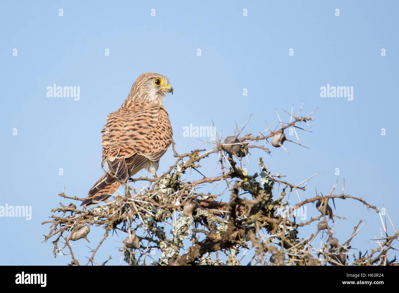 common kestrel Falco tinnunculus Laikipia Kenya Africa perched on an Acacia, back view - Stock Image
