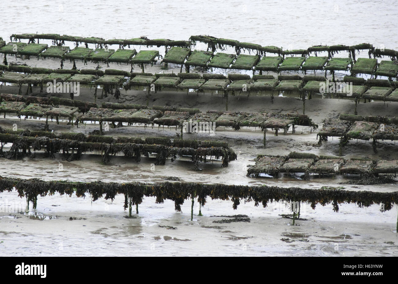 Oyster Farming in the Camel Estuary, Cornwall, England, UK Stock Photo