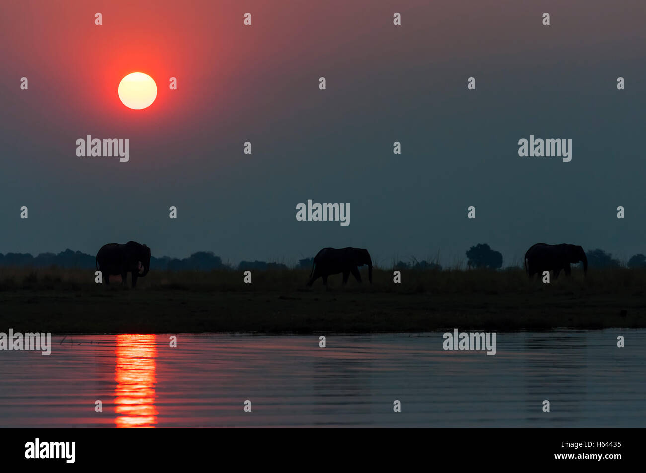 Silhouette of a herd of elepanhts at sunset in the Chobe National Park in Botswana; - Stock Image