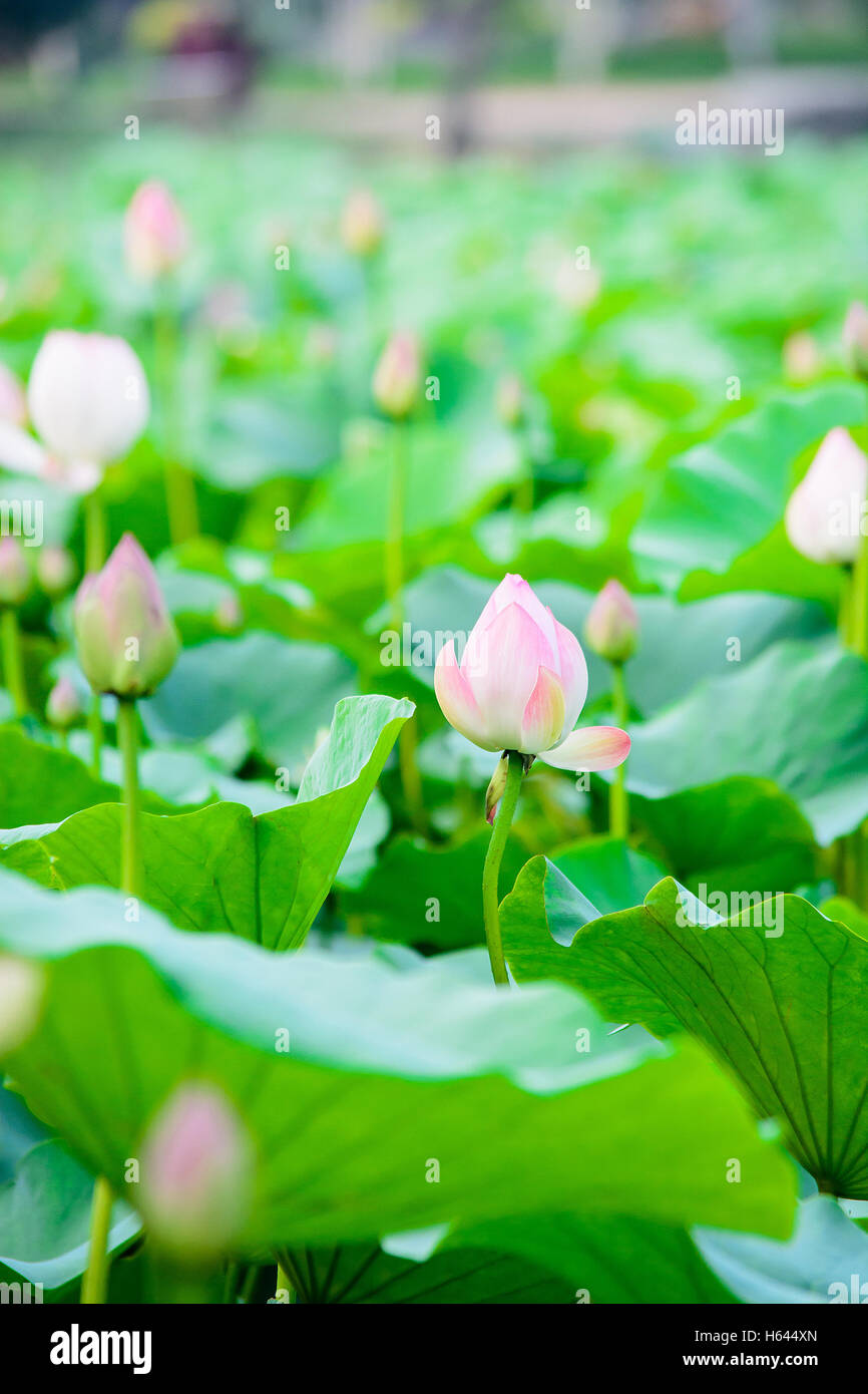 Lotus Flowers In Pondlotus Flower Gardennatural Conceptnatural