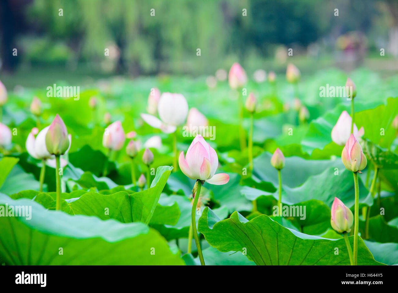 Lotus Flowers In Pond Stock Photos Lotus Flowers In Pond Stock