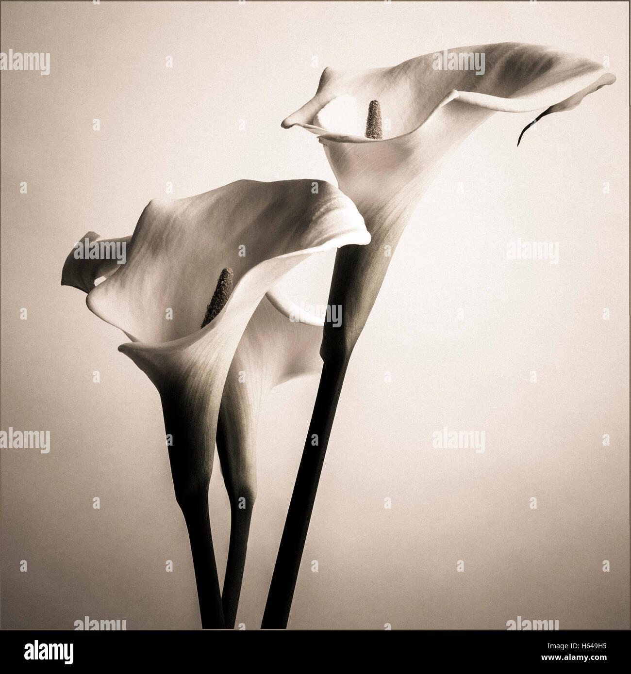 Arum lily flowers, vintage-look - Stock Image
