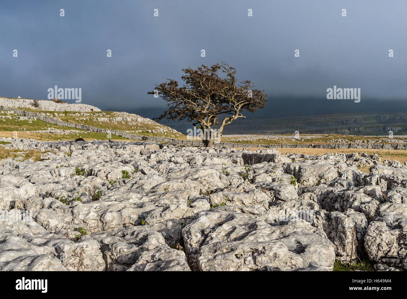 Lone tree at Twistleton Scar Ingleton - Stock Image