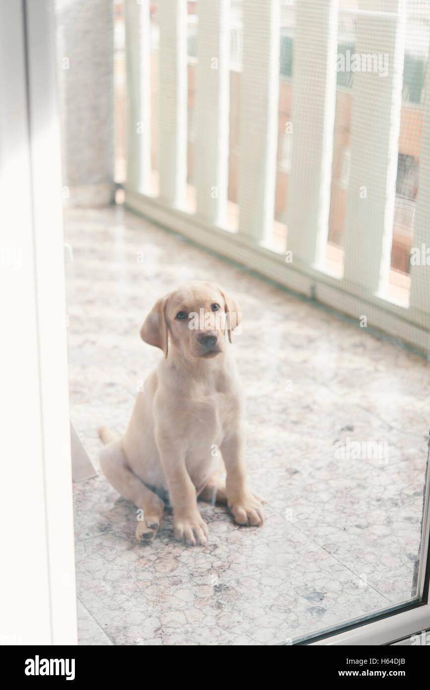 Labrador Retriever puppy sitting behind glass door on balcony & Labrador Retriever puppy sitting behind glass door on balcony Stock ...