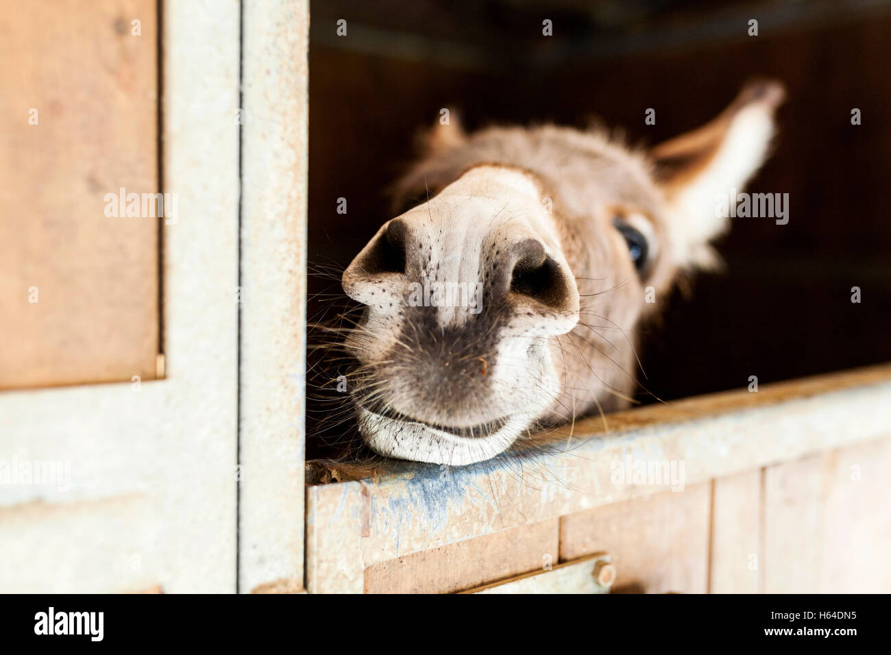 Donkey looking out of stable - Stock Image