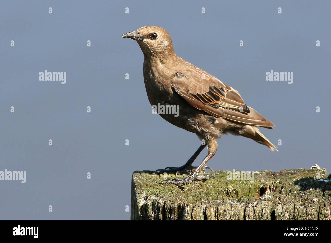 Juvenile European Starling (Sturnus vulgaris) Stock Photo