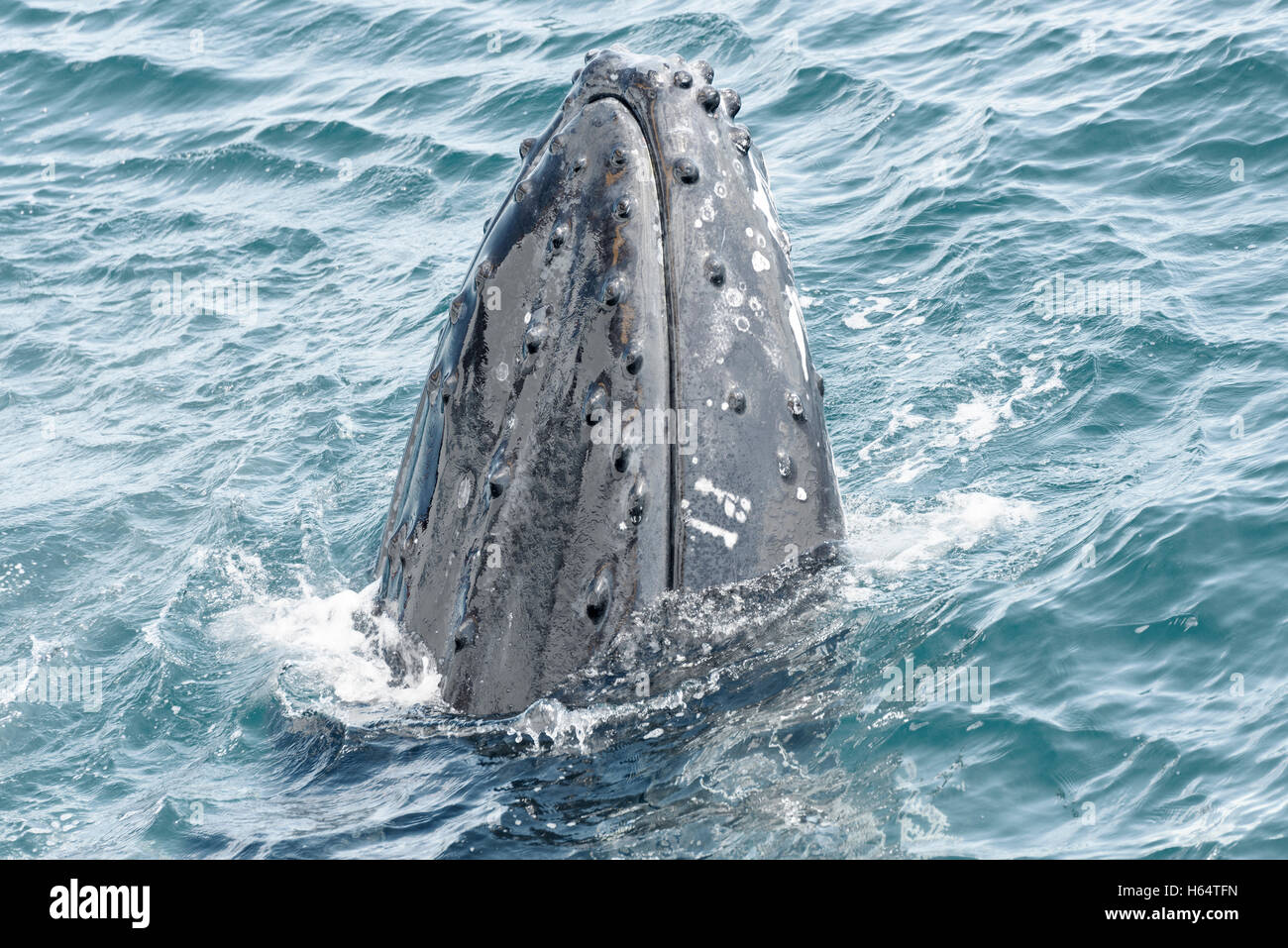 Humpback whales at Hervey Bay, Queensland, Australia.Top place for whale watching ,holiday destination.travel Queensland - Stock Image