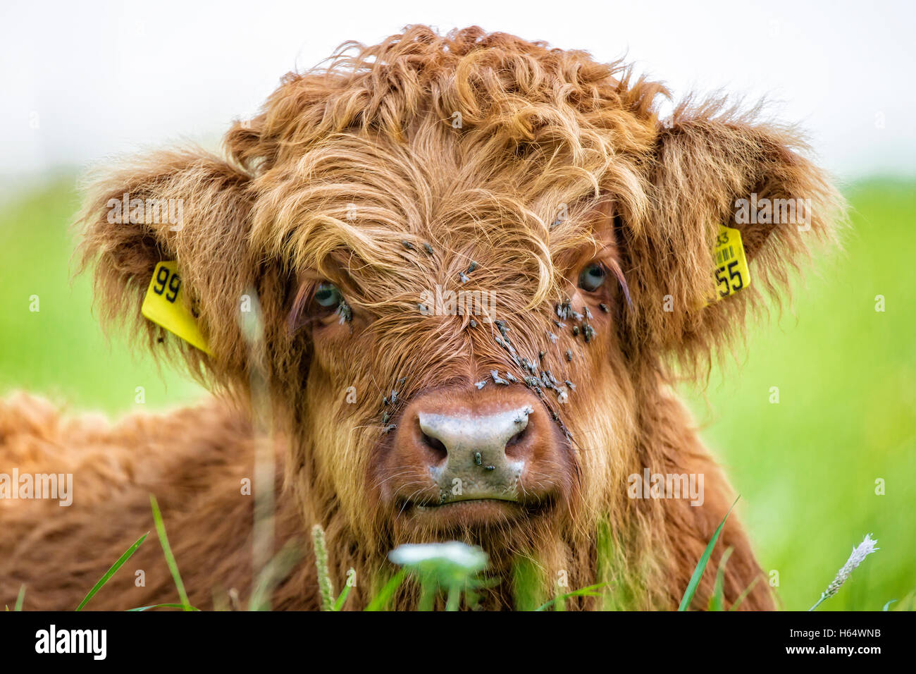 Close up of highland cow calf lying in grass - Stock Image