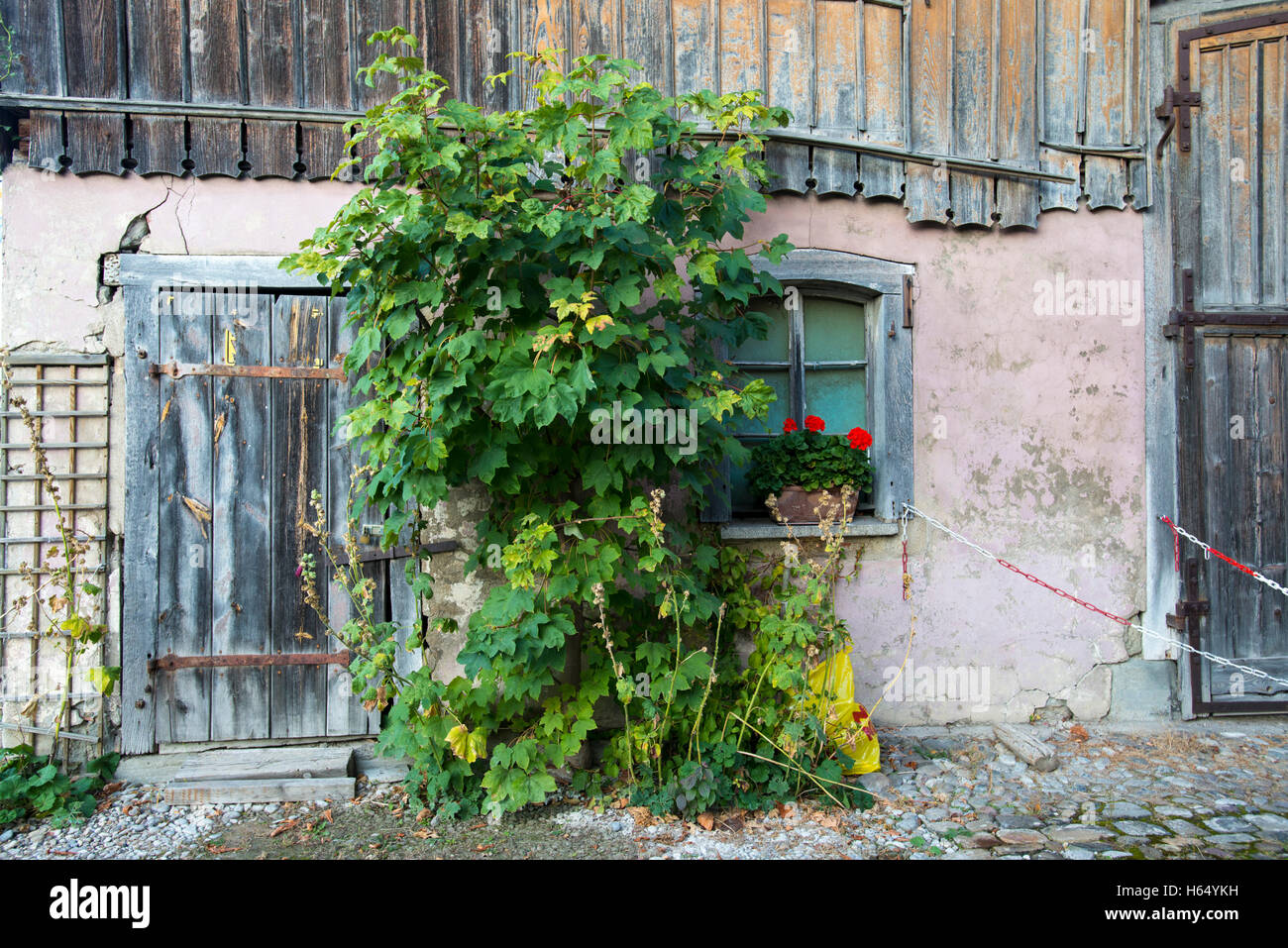 Tree growing in front of an old barn, Reichenau, Baden-Wuerttemberg,Germany - Stock Image