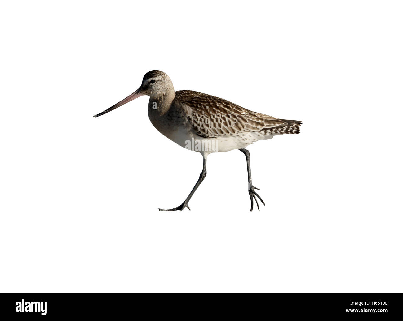 Black-tailed godwit, Limosa limosa, Single bird on beach,  South Uist, Hebrides, September 2015 - Stock Image