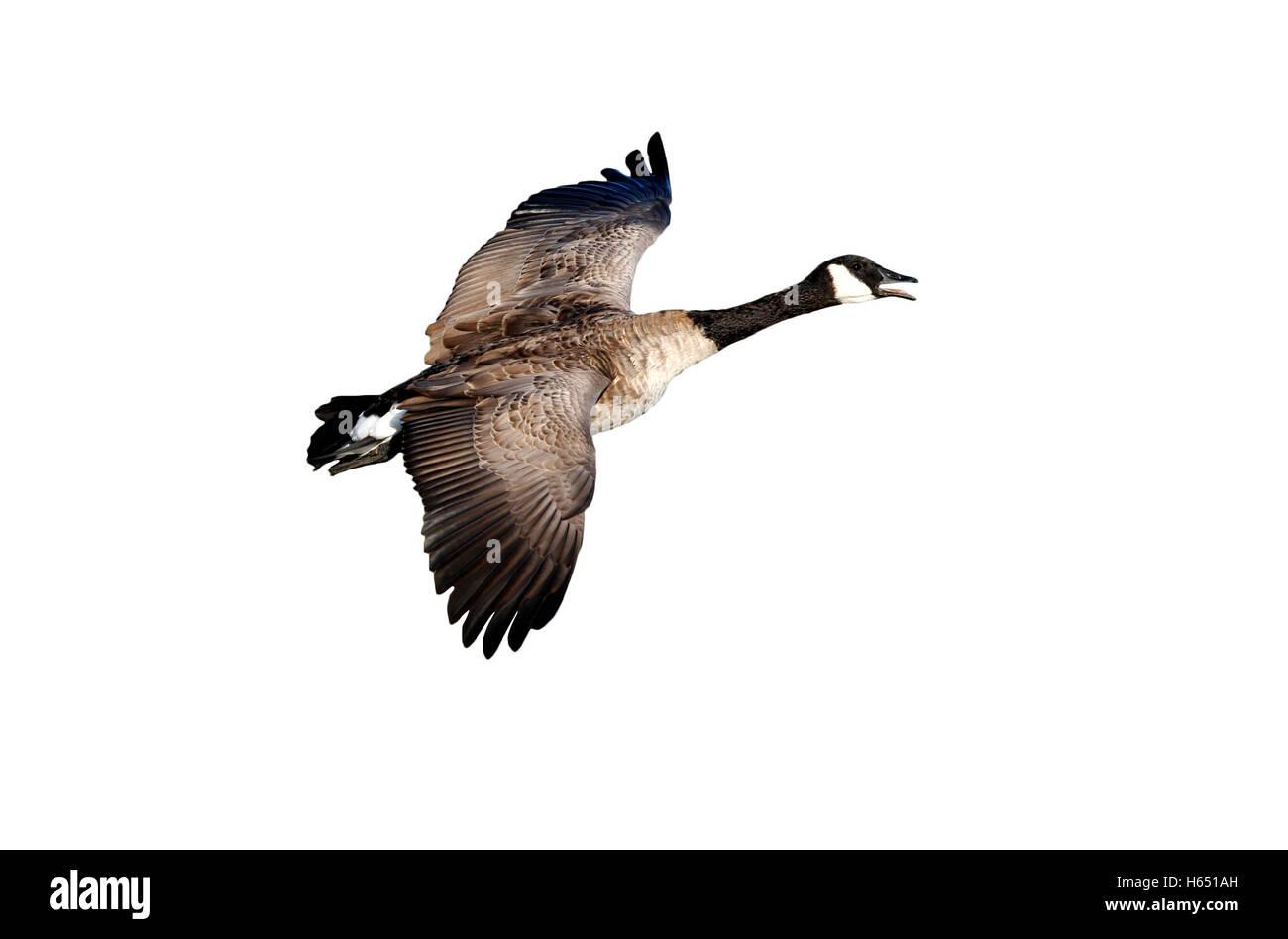 canada goose fake deutsch