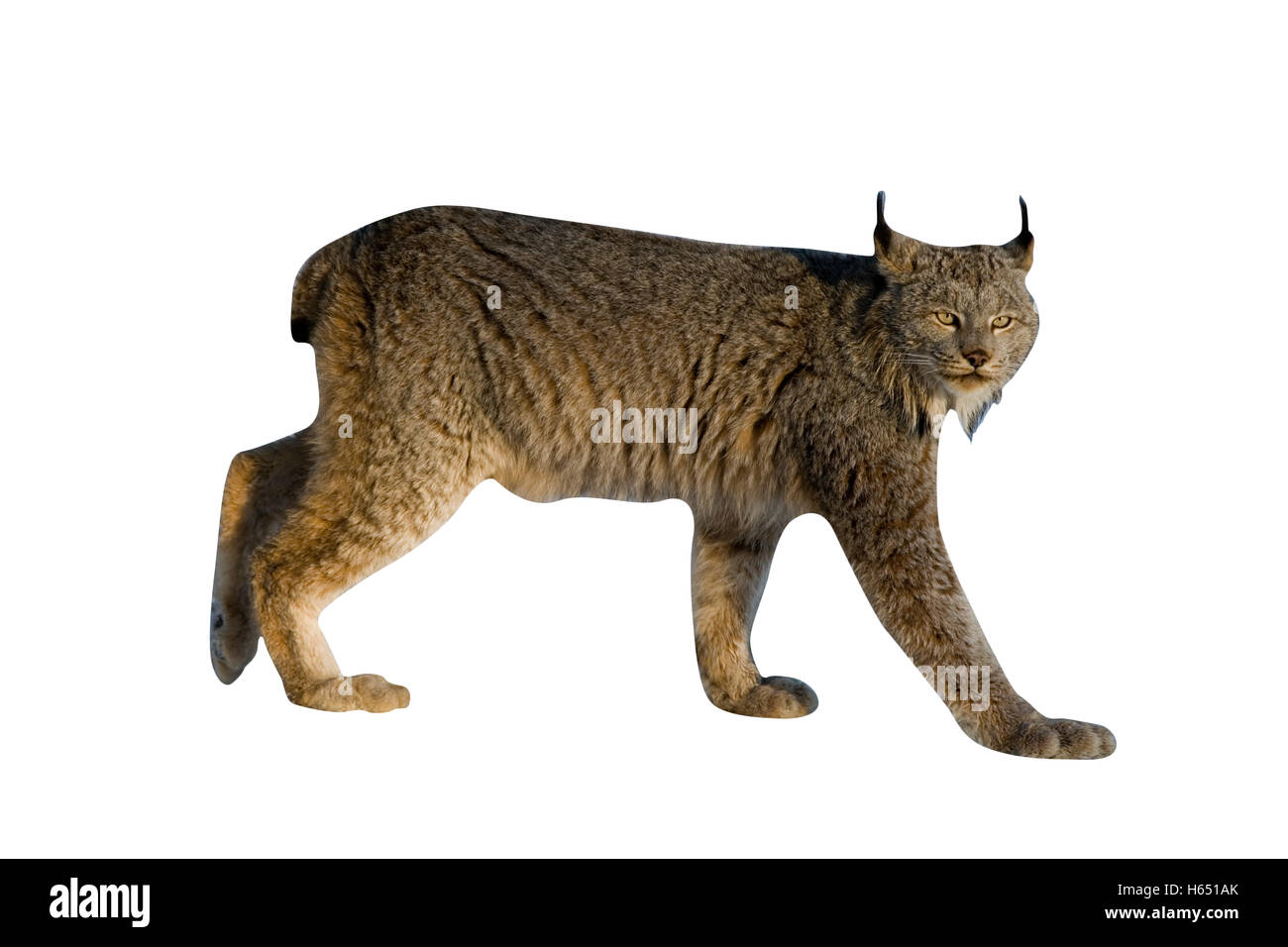 Canadian lynx, Lynx canadensis, single cat in snow, - Stock Image