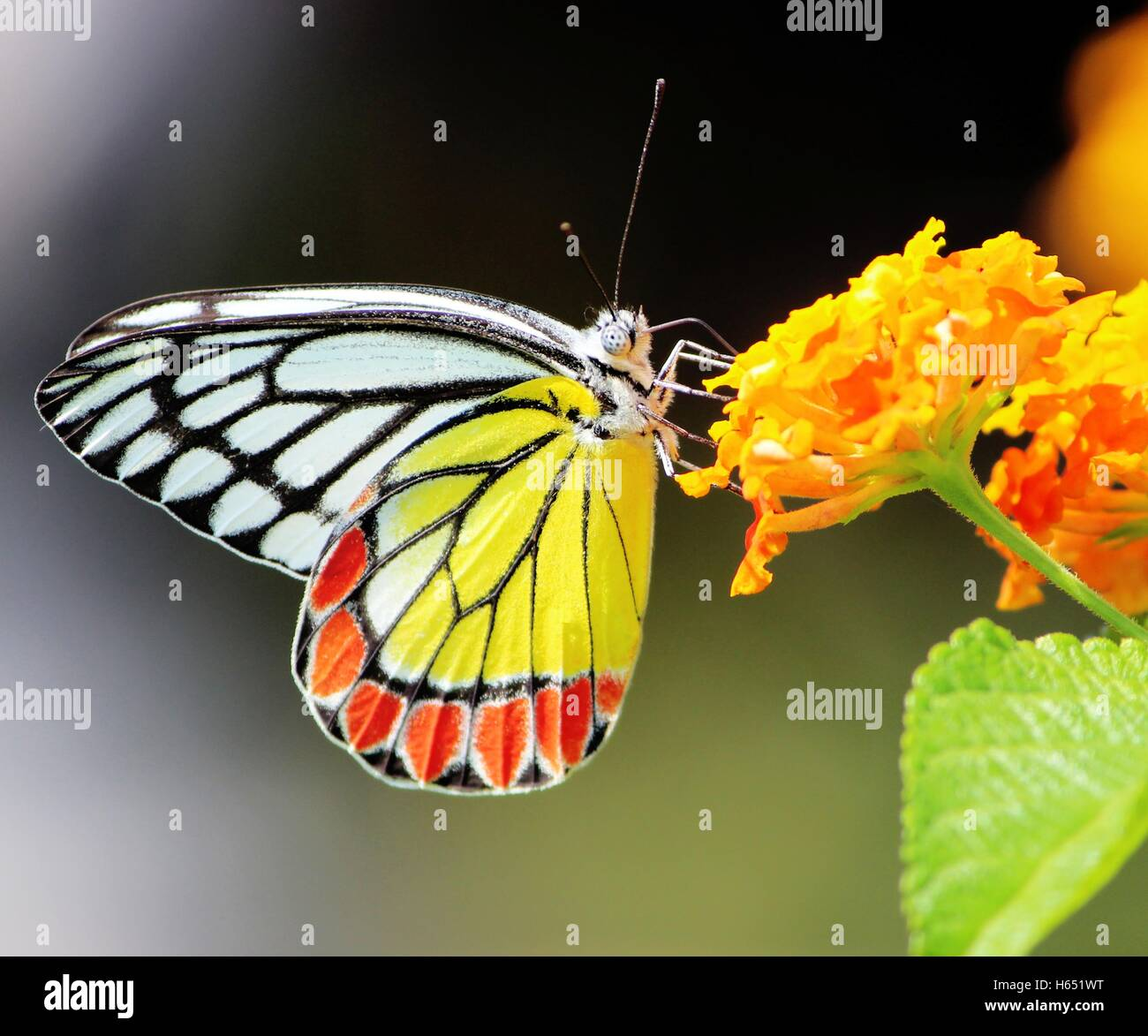 Butterfly, Common Jezebel, Delias eucharis Pieridae, sucking honey from flower, pollinate, close up - Butterflies - Stock Image