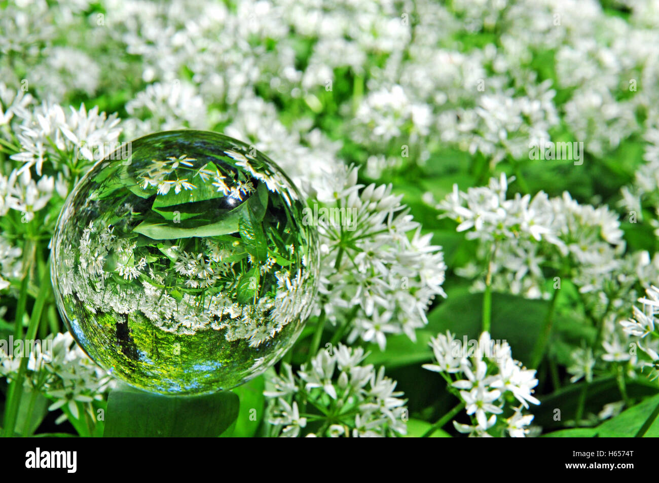 Looking through a Crystal ball in a wild garlic woods in RSPB Garston Woods, Dean lane, Sixpenny Handley Nr Shaftesbury. - Stock Image